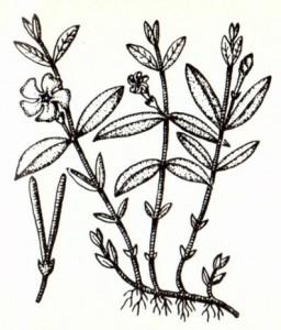 Барвинок малый (Vinca minor L.)