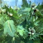 Белена черная (Hyoscyamus niger L.)