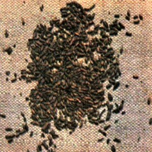 Береза повислая (Betula pendula Roth.)
