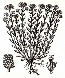 Бессмертник песчаный (Helichrysum arenarium Moench.)