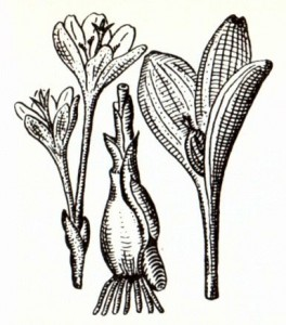 Безвременник великолепный (Colchicum speciosum Stev.)