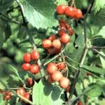 Боярышник кроваво-красный (Crataegus sanguinea Pall.)