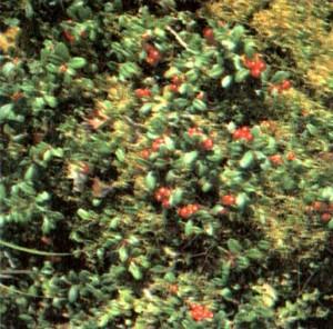 Брусника обыкновенная (Vaccinium vitis idaea L.)