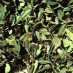 Брусника обыкновенная (Vaccinium vitis idaea L.), часть 2