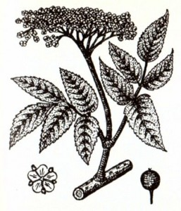 Бузина черная (Sambucus nigra L.)