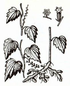 Диоскорея ниппонская (Dioscorea nipponica Makino)