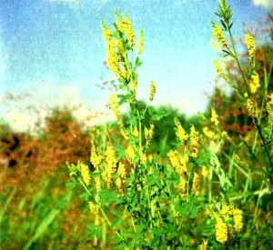 Донник лекарственный (Melilotus officinalis Desr.)