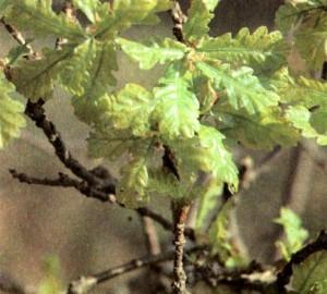 Дуб обыкновенный (Quercus robur L.)