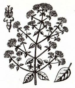 Душица обыкновенная (Origanum vulgare L.)