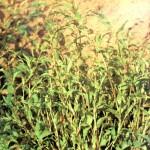 Горец перечный (Polygonum hydroplper L.)
