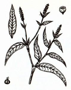 Горец почечуйный (Polygonum persicaria L.)