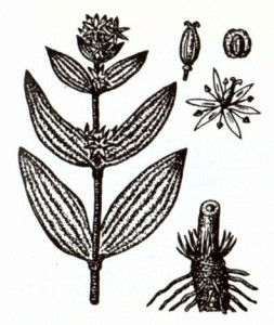 Горечавка желтая (Gentiana lutea L.)