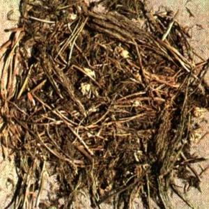 Горицвет весенний (Adonis vernalis L.)