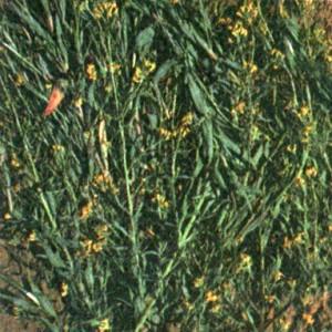 Желтушник раскидистый (Erysimum diffusum Ehrh.)