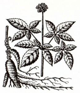 Женьшень (Panax ginseng Меу.)