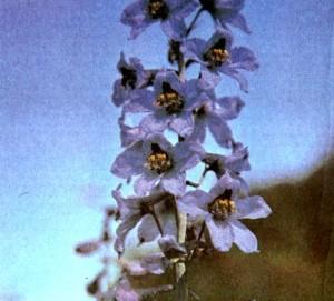 Живокость сетчатоплодная (Delphinium dictyocarpum D.C.)
