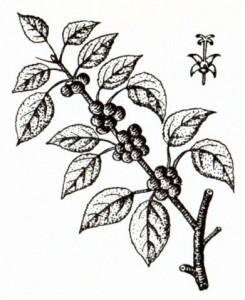 Жостер слабительный (Rhamnus cathartica L.)