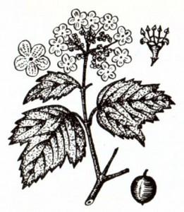 Калина обыкновенная (Viburnum opulus L.)