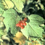 Калина обыкновенная (Viburnum opulus L.), часть 2