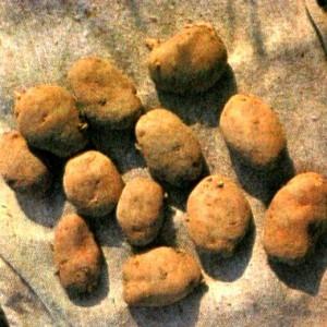 Картофель (Solatium tuberosum L.)
