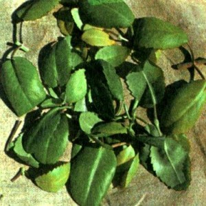 Каланхоэ перистое (Kalanchoe pinnata Pers.)