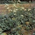Валериана лекарственная (Valeriana officinalis L.), часть 2