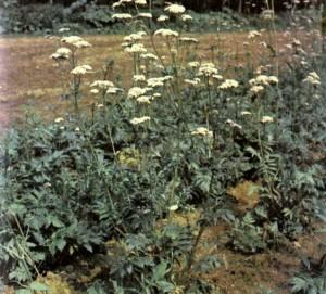 Валериана лекарственная (Valeriana officinalis L.)