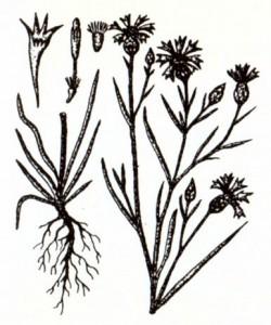 Василек синий (Centaur ea су anus L.)