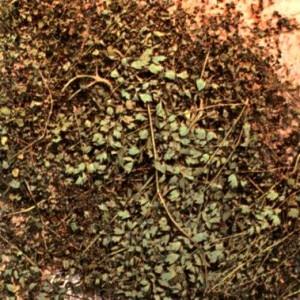 Василистник малый (Thalictrum minus L.)