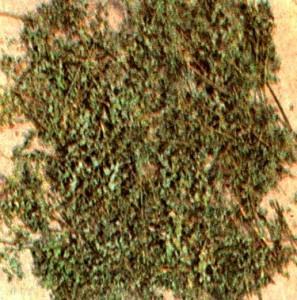 Василистник вонючий (Thalictrum foetidum L.)