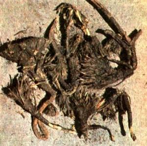 Вздутоплодник сибирский (Phlojodicarpus sibiricus K. Pol.)