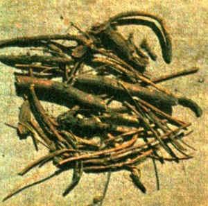 Заманиха высокая (Oplopanax elatus Nakai)