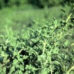 Зайцегуб опьяняющий (Lagochilus inebrians Bunge)