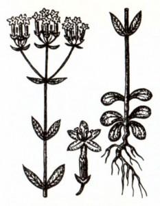Золототысячник малый (Centaurium erythraea Rafn.)
