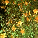 Зверобой продырявленный (Hypericum perforatum L.), часть 2