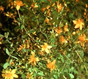Зверобой продырявленный (Hypericum perforatum L.)