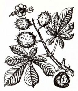 Каштан конский обыкновенный (Aescuius hippocastanum L.)