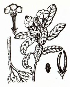 Катарантус розовый (Catharanthus roseus Don.)
