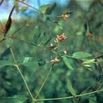 Кендырь коноплевый (Apocynum cannabinum L.)