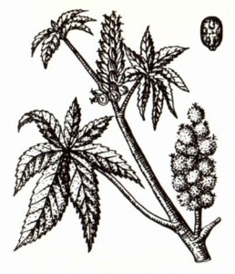 Клещевина обыкновенная (Ricinus communis L.)
