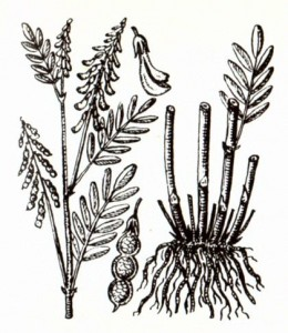 Копеечники альпийский и желтеющий (Hedysarum alplnum L., Н. flavescens Regel.et Schalh.)