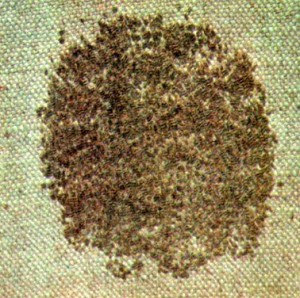 Кориандр посевной (Coriandrum sativum L.)