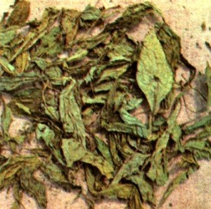 Красавка обыкновенная (Atropa belladonna L.)