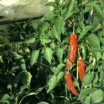 Красный перец (Capsicum annuum L.)