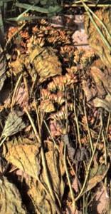 Крестовник плосколистный (Senecio platyphylloides)