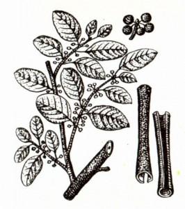 Крушина ольховидная (Frangula alnus Mill.)