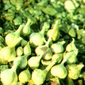 Чеснок (Allium sativum L.)