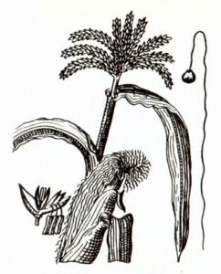 Кукуруза (Zea mays L.)