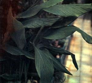 Куркума длинная (Curcuma longa L.)