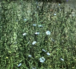 Лен обыкновенный (Linum usitatissimum L.)
